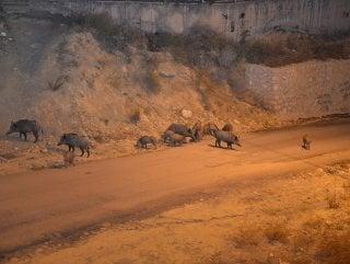 Tunceli'de domuzlar şehre indi