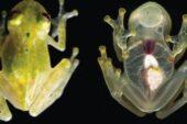 Kalbi görünen cam kurbağa keşfedildi