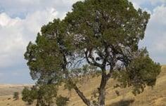 Anıt Ağaç Alanı Kamulaştırılıyor