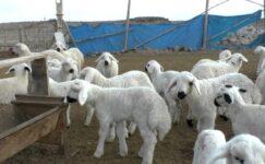 Tarım Bakanlığı 300 damızlık koyun alma şartları neler?