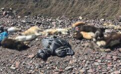 Çubuk'ta Hayvan Katliamı… Demirbaş'dan Açıklama