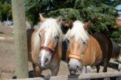 Fayton Atları Altınköy'de