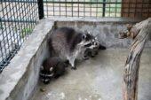 Hayvanat Bahçesinin Sevimli Minikleri Başkentlileri Bekliyor