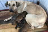 Yeni Doğum Yapmış Sokak Köpeği ve Yavruları Koruma Altında