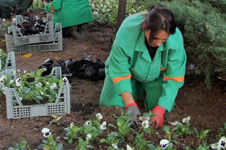 Çankaya Parklarına 370 Bin Kışlık Çiçek