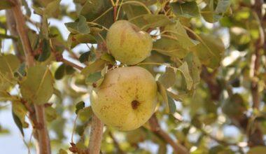 Akyurt'ta meyve yetiştiriciliği kursu başlıyor