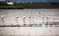 Flamingolardan Gölbaşı sularında görsel şölen