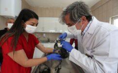 Yenimahalle'de 232 köpek sıcak yuvaya kavuştu