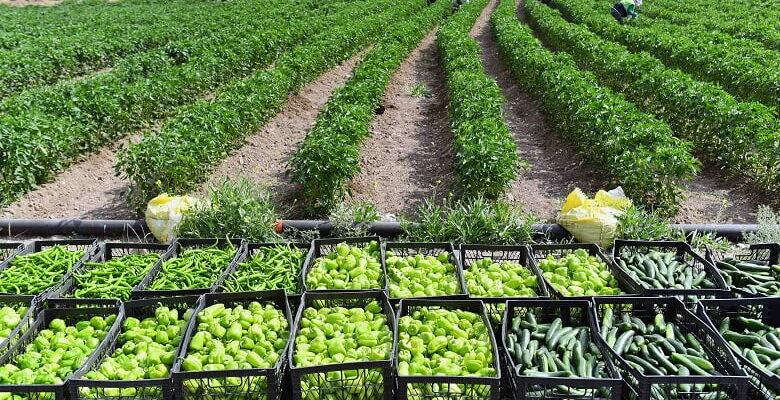 Büyükşehir arazilerinde sebze hasadı başladı