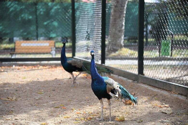Pursaklar'da Tavus Kuşu Evi Ziyaretçilerini Bekliyor