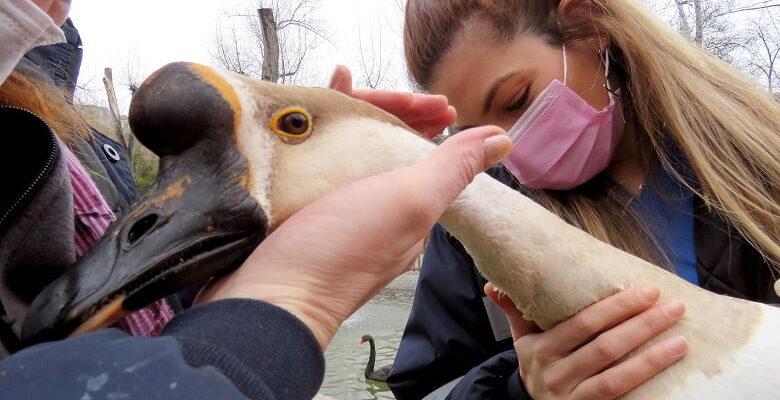 Kuğu ve Ördekler Sağlık Taramasından Geçti