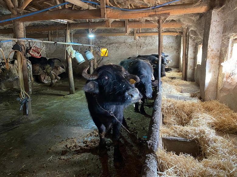 Büyükşehir'den yeni kırsal kalkınma hamlesi: Manda desteği başlıyor