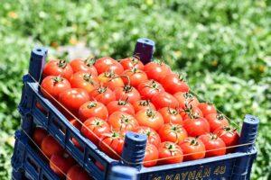 8 milyon sebze fidesi Başkentli çiftçiyle buluşuyor