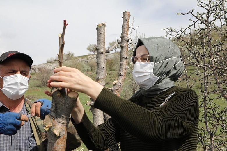 Ankara Armudu Anavatanında. Bin ağaç aşılandı