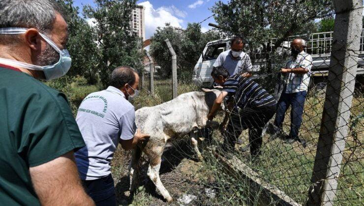 Bursa'da kaçan boğaları Osmangazi Timi'nden kaçamadı!