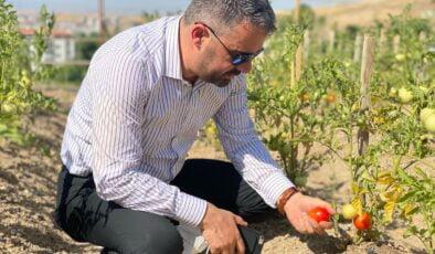 Pursaklar'da ata tohumları ilk ürünlerini vermeye başladı