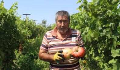 Akyurt'un örnek çiftçisi: Hibrit tohuma savaş açtı
